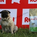 posando junto al saco de pienso especifico para el Carlino, marca Royal Canin | Chobit oliendo el saco de pienso especifico para el Carlino, marca Royal Canin